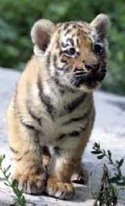 babytiger O La Mi at the Beardsley Zoo!